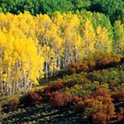 aspen trees changing color