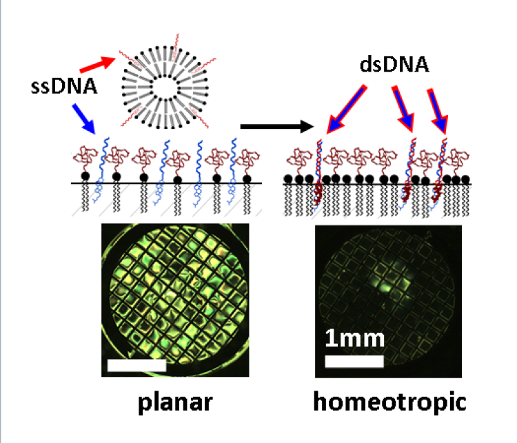 DNA hybridization can be used as a liquid crystal sensor as hybridization induces the blocking of light