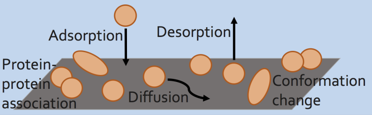 adsorption, desorption, conformation changes, and diffusion