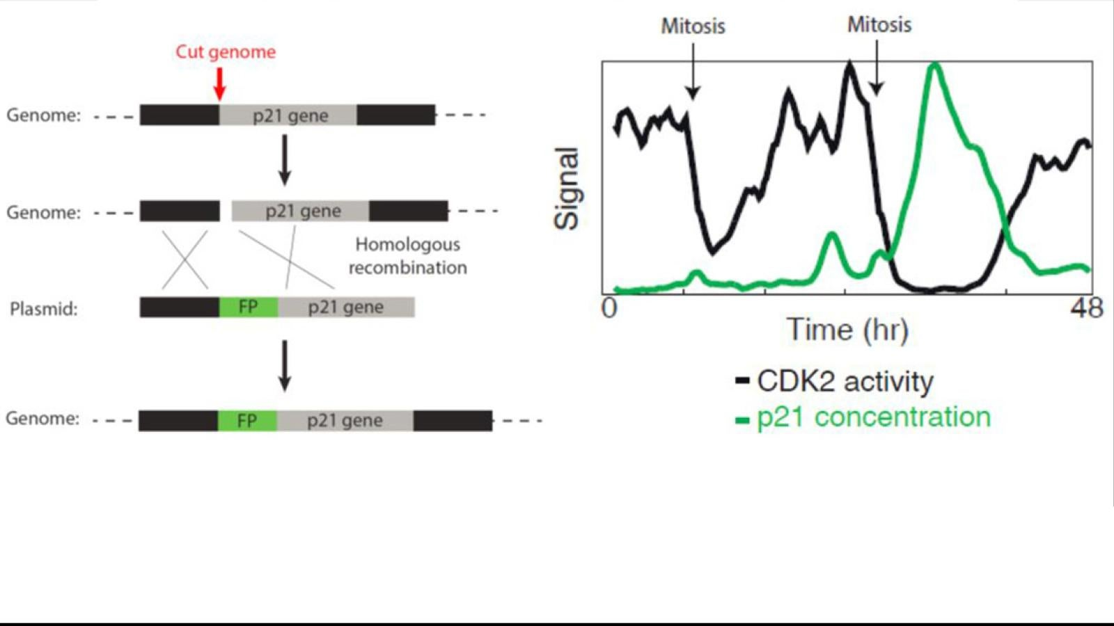 Using an mCitrine-p21 fusion protein in order to monitor p21 levels compared to CDK2 activity in cells in transient quiescence.