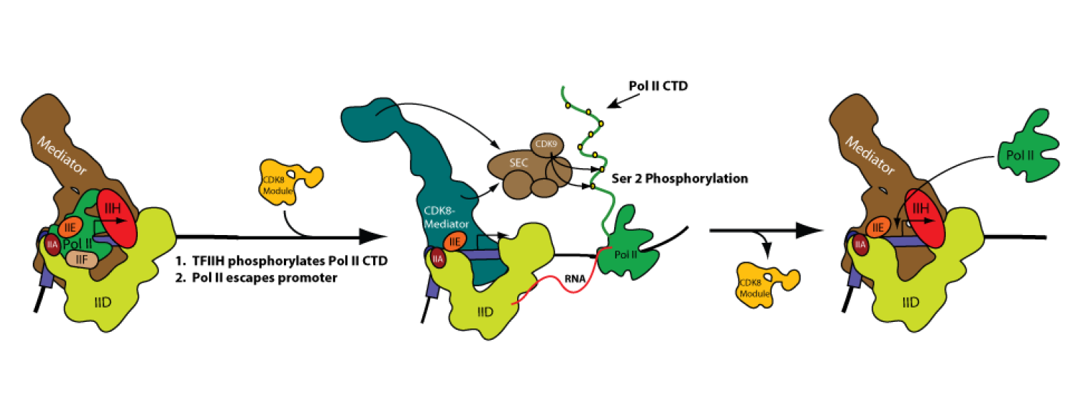 Mediator Controls Multiple Stages of Transcription