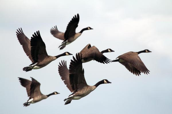Geese-in-flight-lab-amuni