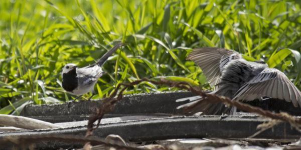 Motacilla alba courtship