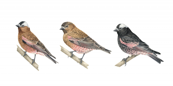 rosy-finches
