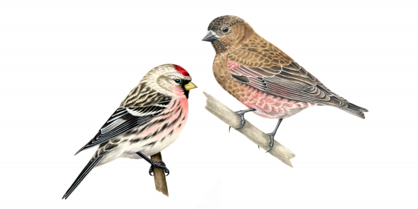 Rosy-finch and redpoll thumbnail image