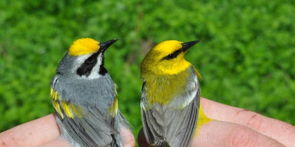 warblers pair
