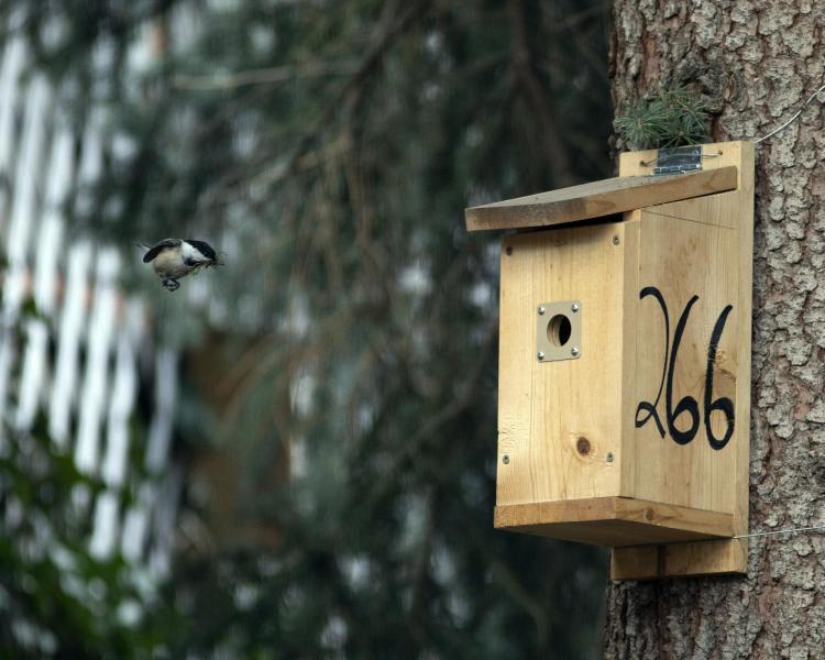 chickadee at nest box