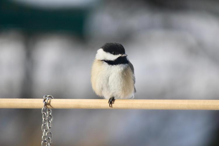 Back-capped chickadee