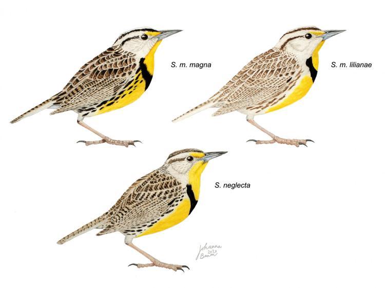 meadowlarks_illustration