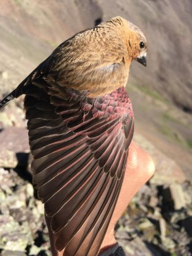 Rosy-finch wing