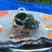 Chickadee nestling