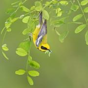 A Lawrence's warbler by B.N. Singh