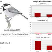 Sample measurements of chickadee cap by UV Chroma, Reflectance, and Patch Size
