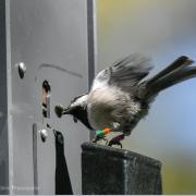 chickadee at smart feeder