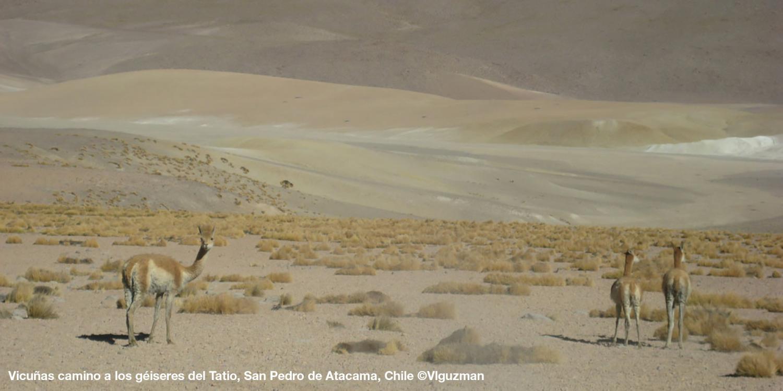 Vicuñas, landscape Chile