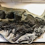 The stegosaurus fossil located in the Earth Sciences and Map Library.