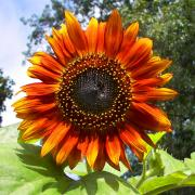 Helianthus coloradensis, also known as the Cockerell sunflower