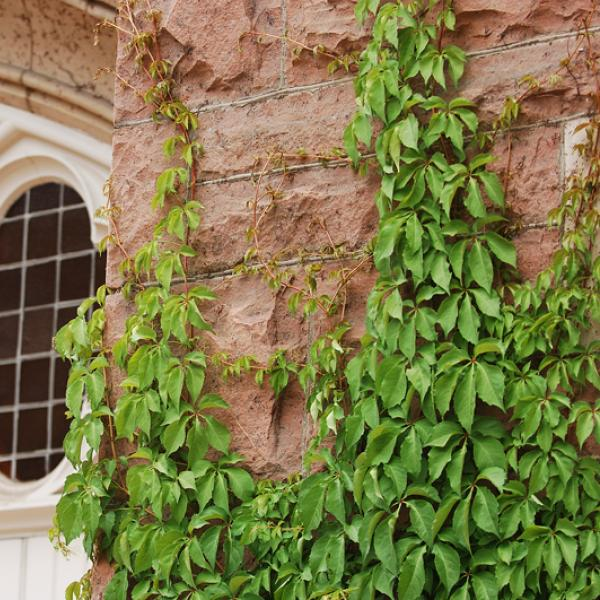 Architectural detail: brick wall with ivy