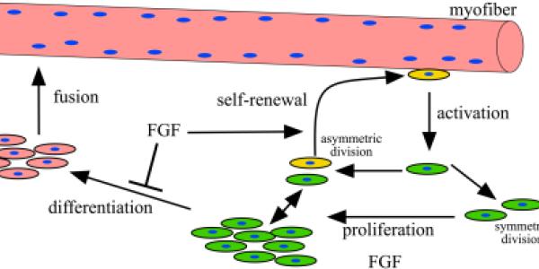 Satellite cells enable muscle regeneration.