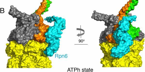 Nucleotide-dependent rearrangement of Rpn6.