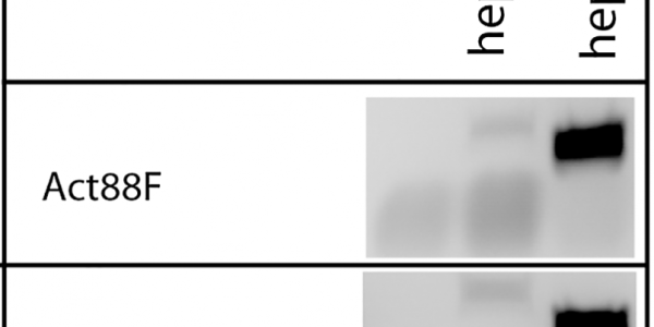 RT-PCR analysis reveals differentially expressed transcripts.