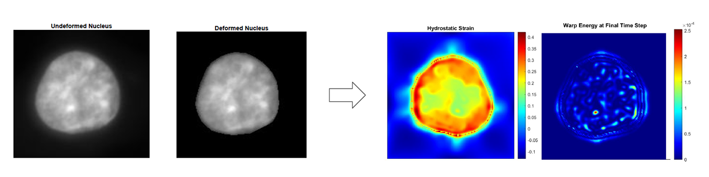 Analysis of deformation and strain patterns within a cell nucleus