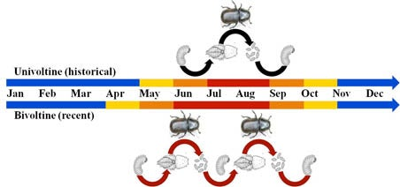 Life Timeline of Mountain Pine Beetle