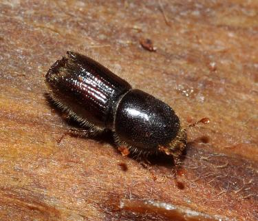 Pine Beetle Square