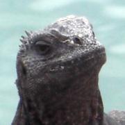 marine iguana thumb