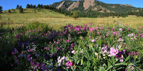 Chautauqua Flatirons, purple flowers
