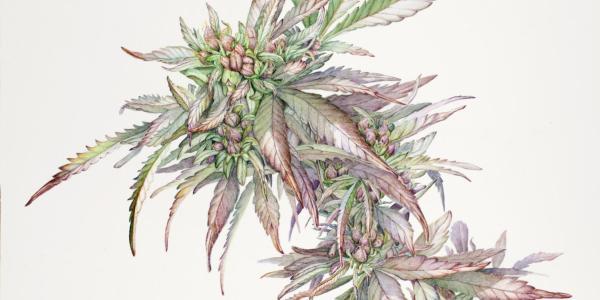 cannabis illustration
