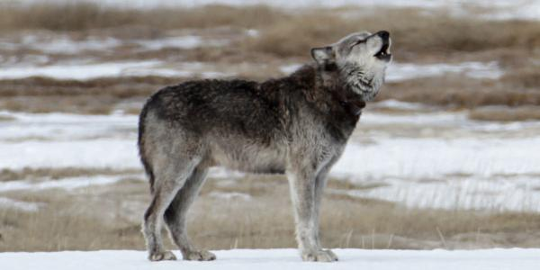 A howling wolf in a snowy field