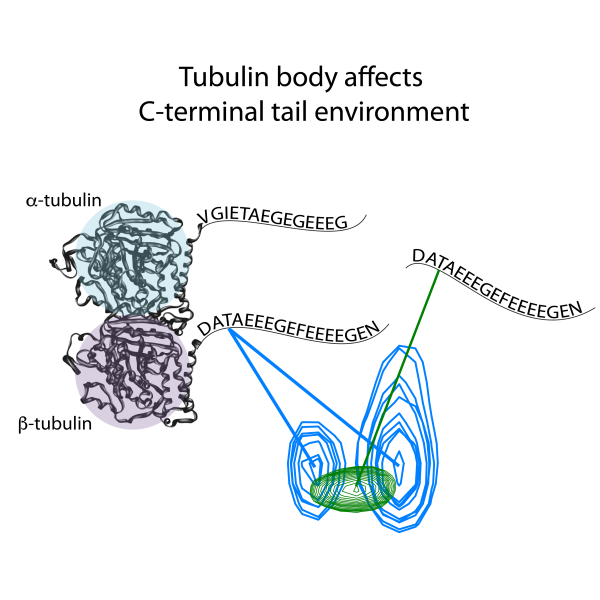 NMR spectra of tubulin C-terminal tail.