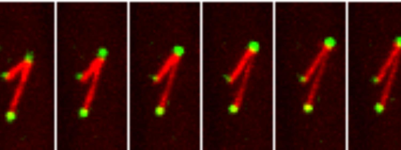 Image of microtubules pushing a kinetochore