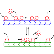 Cartoon of motors dynamics on antiparallel MTs