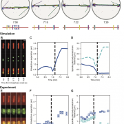 Chromosome segregation in the model and comparison to experiments