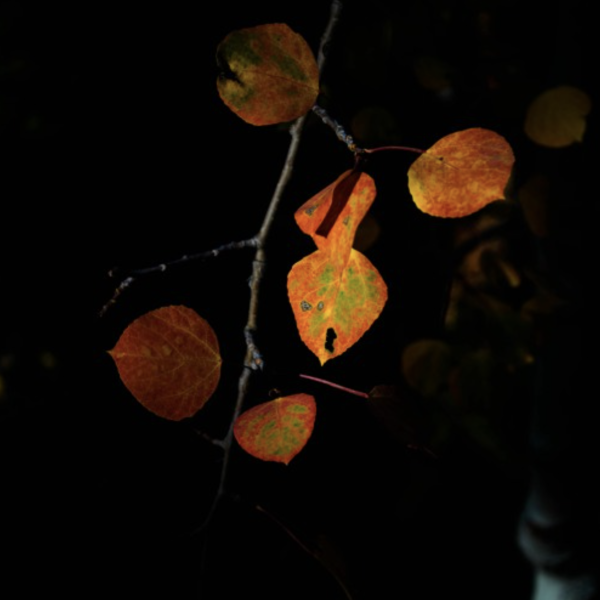 Leaves hanging off a tree at night