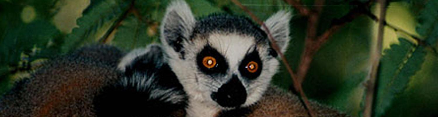 lemur with bright red eyes