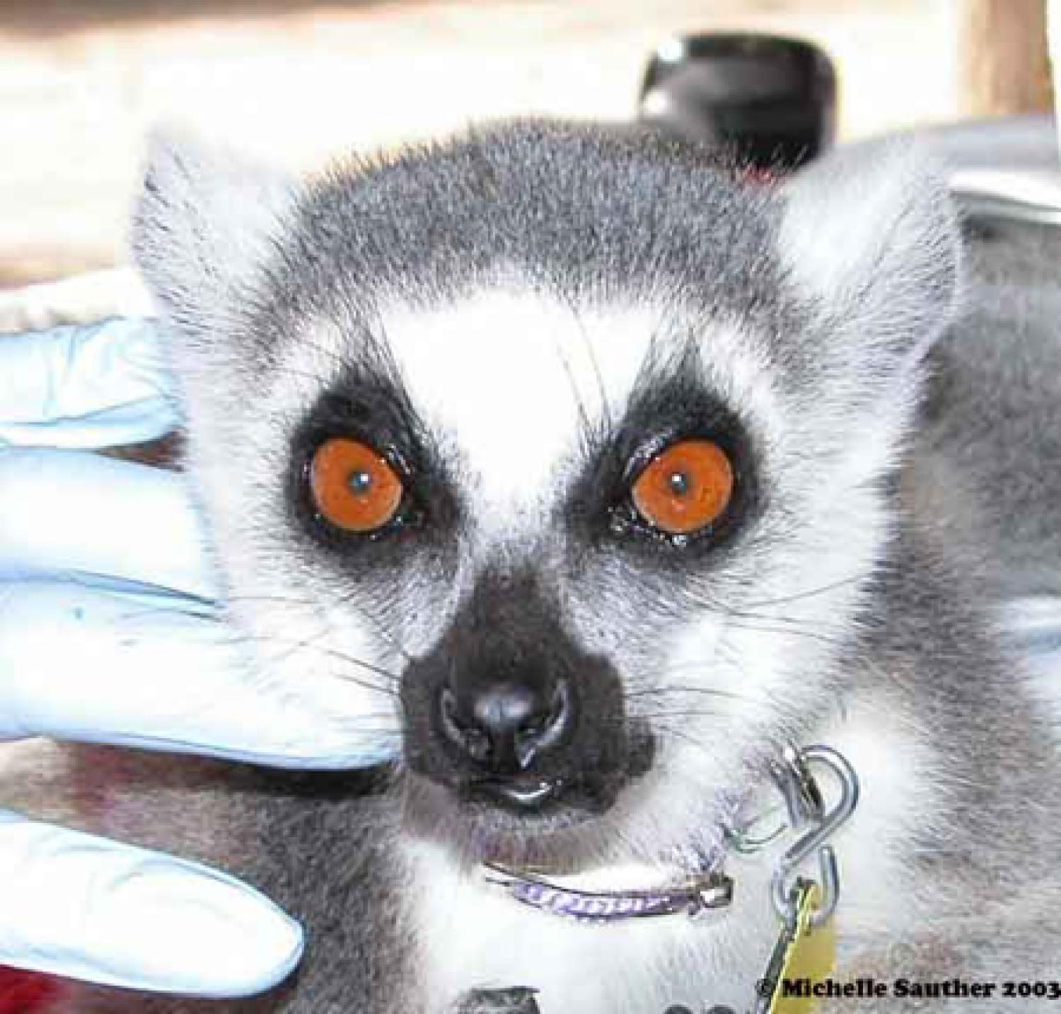Lemur face with large red eyes