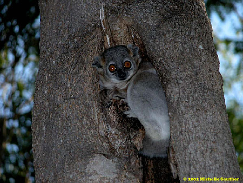 A lemur in a tree cavity