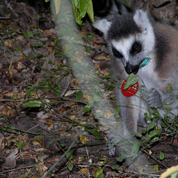 A lemur foraging for leaves and fruits.
