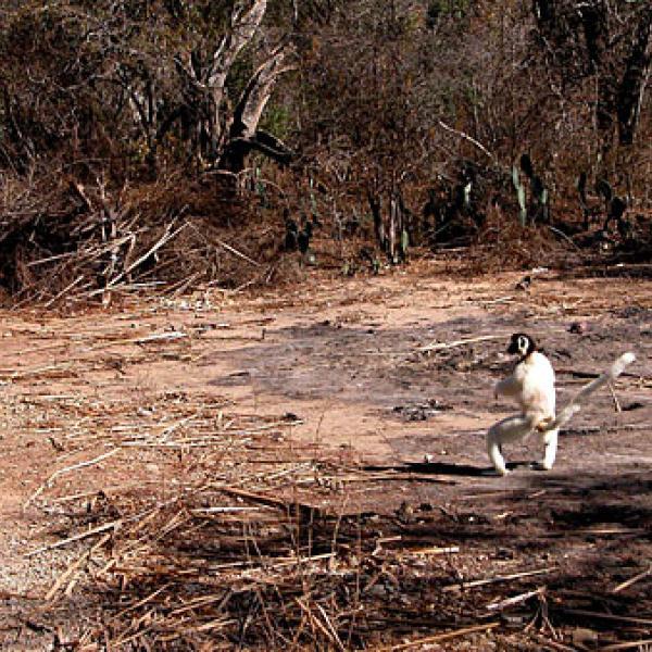 Habitat fragmentation creates challenges for lemurs.