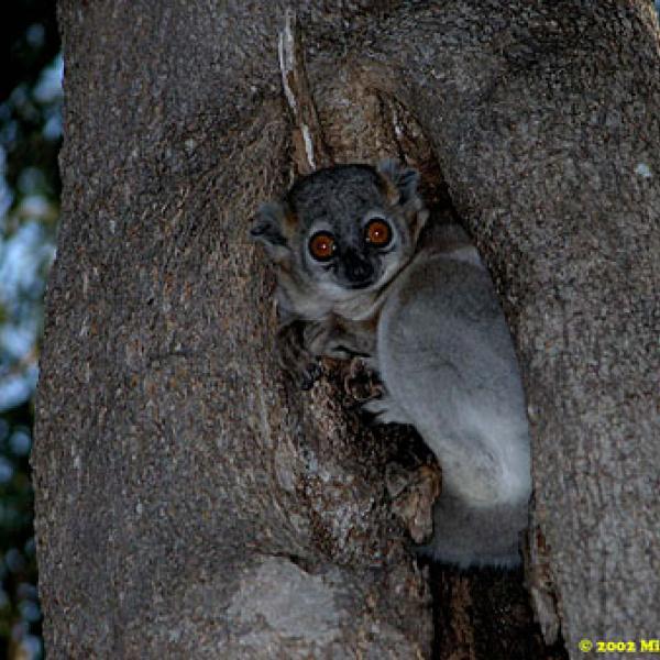 Lepilemur leucopus: the White-footed sportive lemur.
