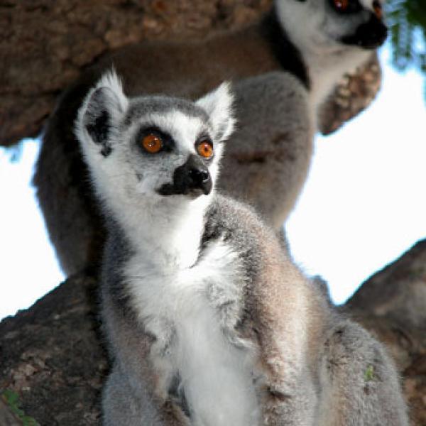 Female ring-tailed lemur.