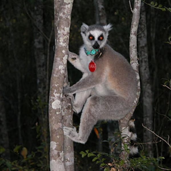 A ring-tailed lemur in the Beza Mahafaly Special Reserve.