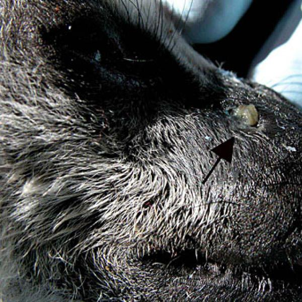 Dental abscess due to infected, decaying canines.
