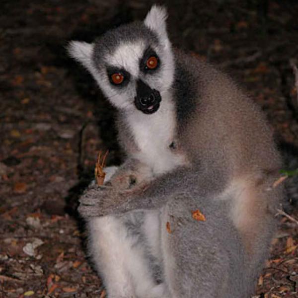 A lemur feeding on Tamarinds.