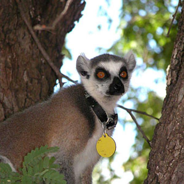A lemur in the trees.
