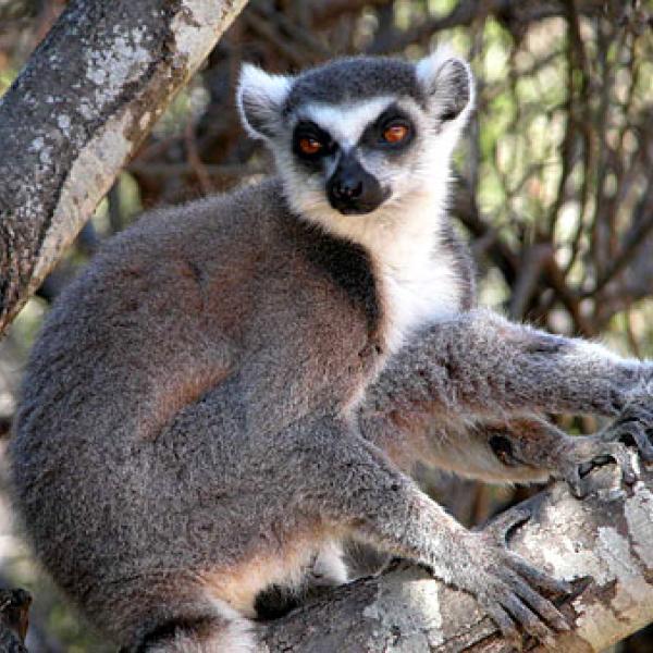 A lemur closeup.