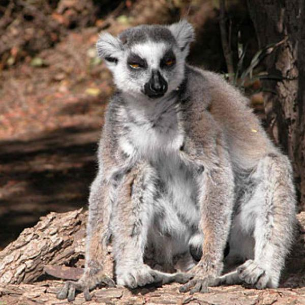 Male ring-tailed lemur.